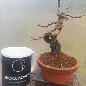 Japanese Crab Apple Bonsai Starter Tree