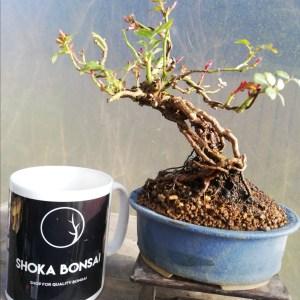 Dwarf Shohin Rose Bonsai Neagari