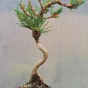 Dwarf Japanese White Pine Starter Bonsai