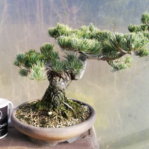 Japanese White Pine Specimen Bonsai Tree