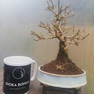 Premna Japonica/Musk Maple Bonsai Tree