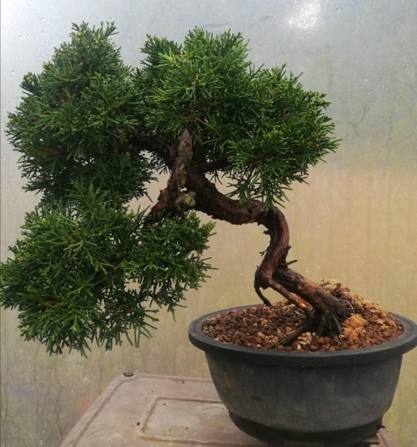 Chinese Juniper bonsai Tree Material