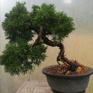 Chinese Juniper bonsai Tree Material