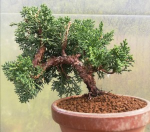Chinese Juniper Shohin Bonsai in training
