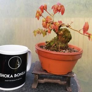 Trident Maple Shohin Pre-Bonsai Tree
