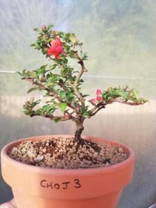 Chojubai Dwarf Quince Bonsai Tree