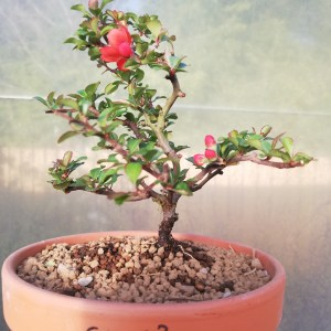 Chojubai Dwarf Quince Bonsai Tree