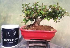 Cotoneaster Shohin Bonsai Tree