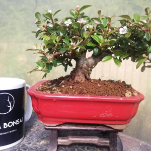 Cotoneaster Shohin Bonsai Tree