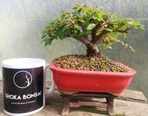 Shohin Cotoneaster Bonsai Tree