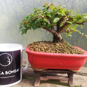 Shohin Cotoneaster Bonsai Tree