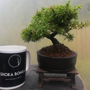 Juniper Rigida Bonsai Tree