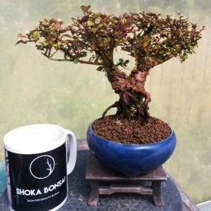 Dwarf Myrtle Shohin Bonsai