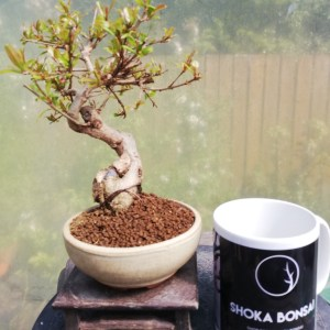 Pomegranite shohin Bonsai tree
