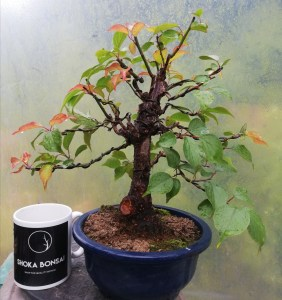 Prunus Mume/Japanese Apricot Flowering Bonsai