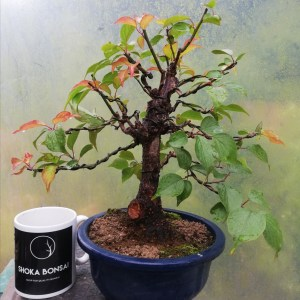 Prunus Mume/Japanese Apricot Flowering Bonsai