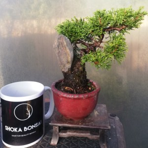 Juniper Itiogawa on rock bonsai