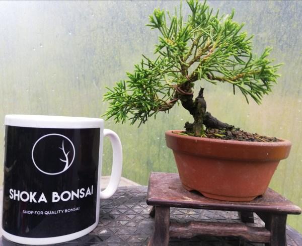 Mini Juniper Itiogawa Bonsai In training