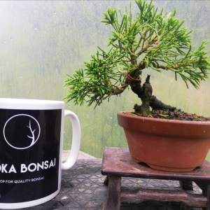 Mini Juniper Itiogawa Bonsai In training