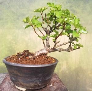 Mini Nothofagus Artic Beech Bonsai Tree