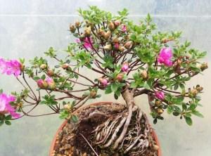 Azalea shohin Bonsai Tree