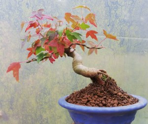 Trident Maple Shohin Bonsai Tree