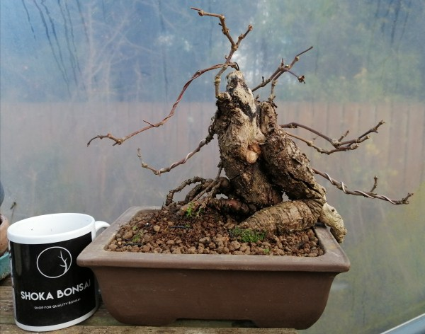 Old Virginia Creeper Bonsai Tree