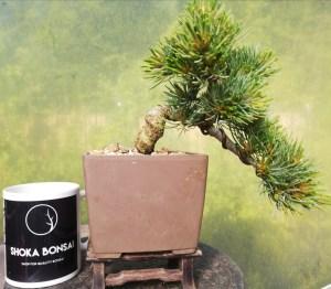 Japanese White Pine Semi Cascade Style Bonsai