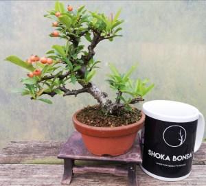 Pyracantha small Bonsai Tree