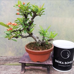 Pyracantha small Bonsai Tree