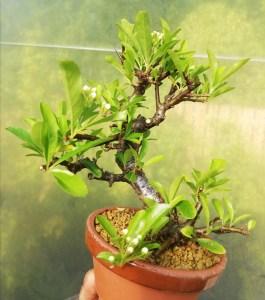 Shohin Pyracantha Firethorn Bonsai
