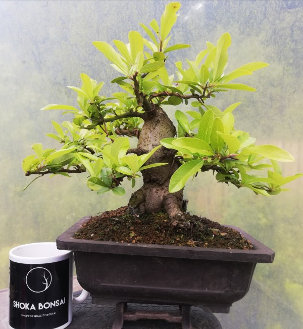 Sumo Pyracantha Firethorn Bonsai in training