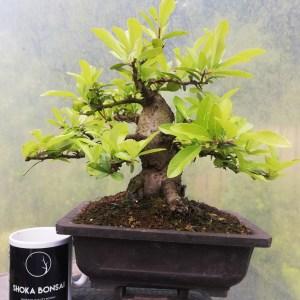 Sumo Pyracantha Firethorn Bonsai in training