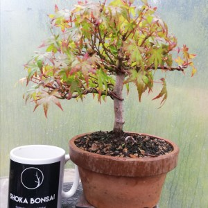 Japanese Maple Bonsai Tree