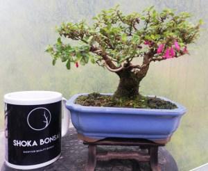 Fuschia microphylla flowering shohin Bonsai tree