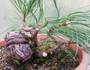 Austrian Black Pine Yamadori Pinus Nigra Bonsai Material