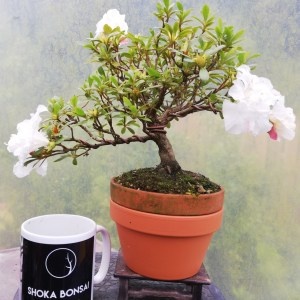 Shohin flowering Satsuki Azalea Bonsai tree