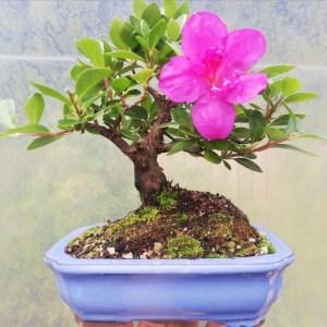 Shohin flowering Satsuki Azalea Bonsai tree