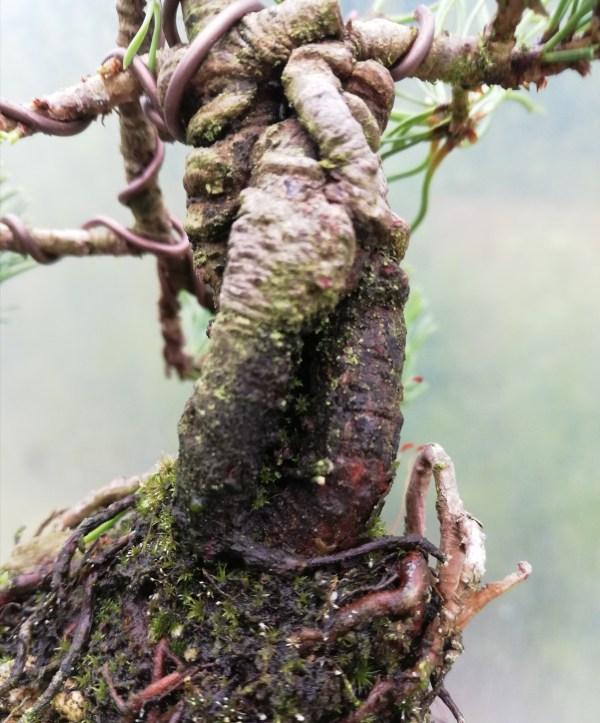 Pinus Mugo Shohin Bonsai tree in training