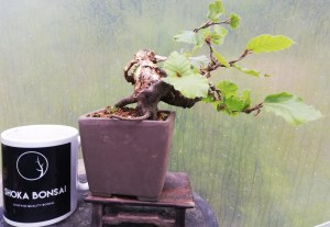 European Beech Yamadori Bonsai tree