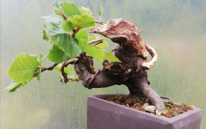 European Beech Yamadori Bonsai tree