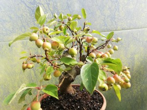 Crab Apple Bonsai Tree