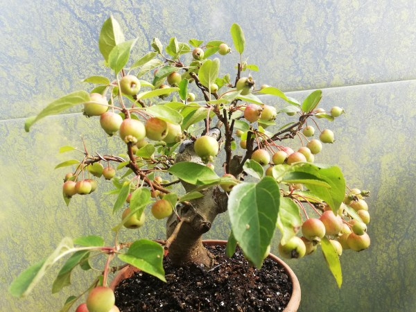 Crab Apple Bonsai Tree
