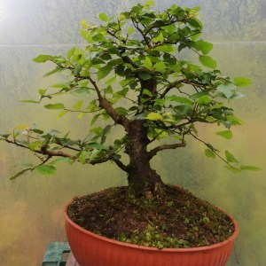 Large English Elm/Ulmus Procera Bonsai Material
