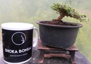 Miniature Rhododendron Alpine Bonsai tree in training