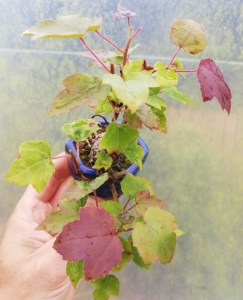 Acer tatarticum Mini Maple Bonsai