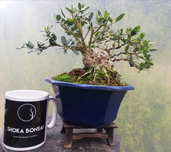 Wild Olive Oleaster Sumo Bonsai Tree material