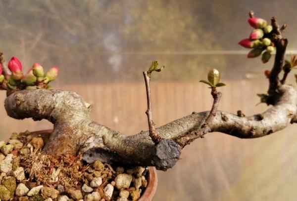 Quince flowering Bonsai Material