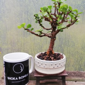 Elephant Bush indoor Bonsai Tree