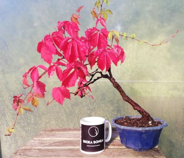 Elegant Virginia Creeper Bonsai Tree
